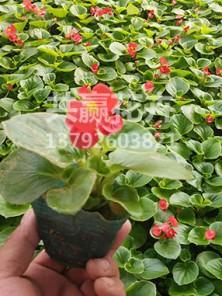 四季海棠(绿叶)