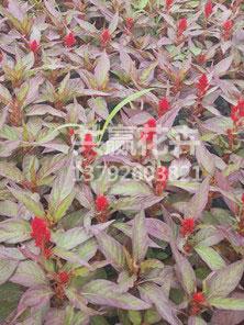 红叶鸡冠花