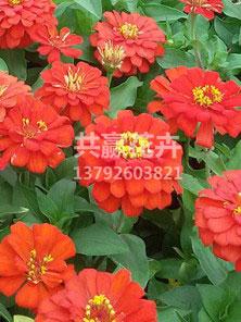 百日草(红)