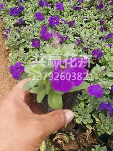 牵牛(紫)